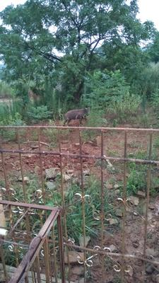 湖南省常德市临澧县特种野猪 100斤以上 公