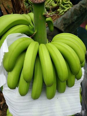 广东省江门市新会区广东香蕉1号 七成熟 40斤以下
