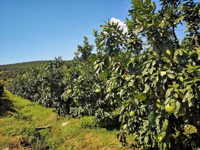 福建省漳州市平和县红心柚 1.5斤以上