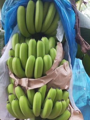云南省文山壮族苗族自治州马关县威廉斯香蕉 七成熟 50 - 60斤