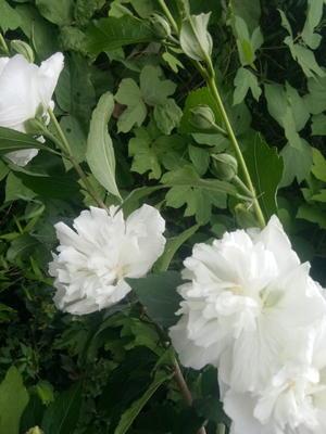 江西省上饶市广丰县白木槿花苗