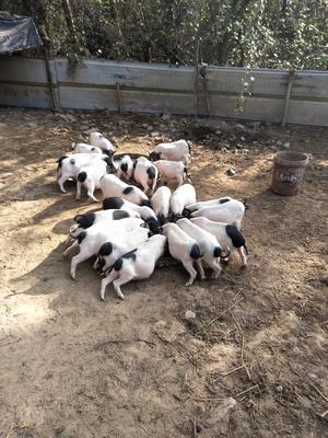 湖北省武汉市江夏区巴马香猪 60斤以上