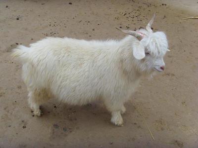 陕西省榆林市榆阳区绒山羊 30-50斤
