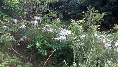 陕西省汉中市洋县波尔山羊 50-80斤