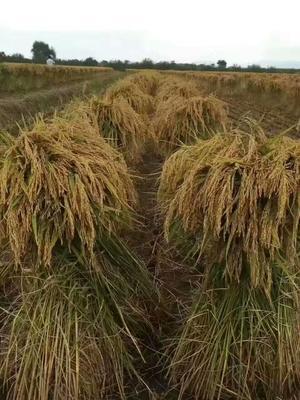 黑龙江省哈尔滨市五常市 稻花香大米 有机大米 晚稻 一等品