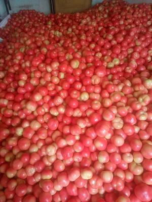 河南省三门峡市灵宝市硬粉番茄 不打冷 硬粉 弧二以上