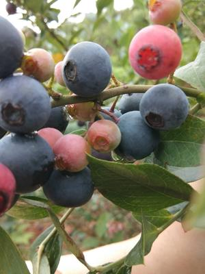 贵州省黔东南苗族侗族自治州麻江县麻江蓝莓 鲜果 10 - 12mm以上