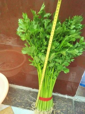 山东省临沂市沂南县玻璃脆芹菜 55~60cm 大棚种植 0.05斤
