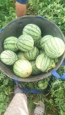 这是一张关于8424西瓜 有籽 2茬 9成熟 4斤打底的产品图片