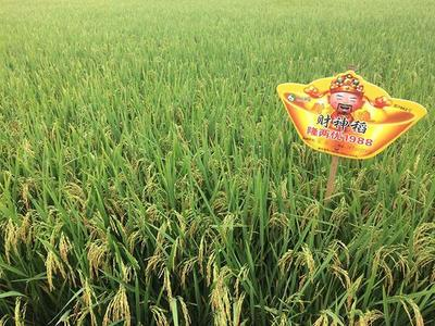 湖北省黄冈市英山县水稻种子
