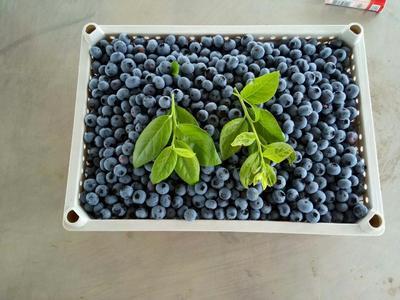 辽宁省丹东市东港市北陆蓝莓 鲜果 12 - 14mm以上