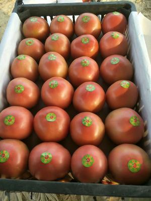 山东省聊城市东昌府区西澳多西红柿 不打冷 硬粉 弧二以上
