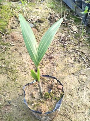 广东省广州市荔湾区椰子苗  狐尾椰子