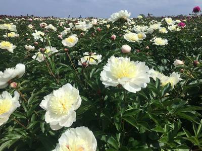 江苏省连云港市赣榆区观赏牡丹 2cm以下 4cm以下 0.5~1米