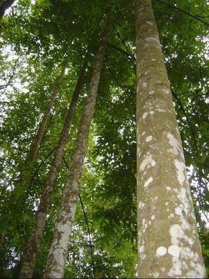 广东省惠州市惠城区奇楠沉香树