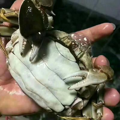 江苏省苏州市常熟市阳澄湖大闸蟹 2.0两以下 母蟹