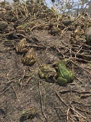 湖北省荆州市荆州区黑斑蛙