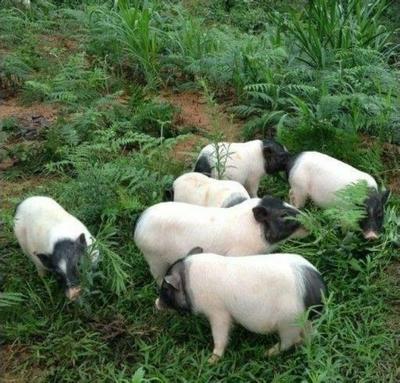 四川省宜宾市江安县巴马香猪 20-40斤