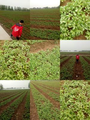 山东省菏泽市牡丹区多花芍药 2cm以下 1~1.5米