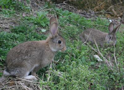 贵州省黔西南布依族苗族自治州安龙县杂交野兔 5斤以上