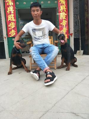 山东省济南市历城区杜宾犬