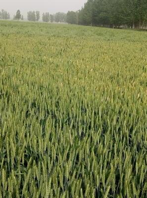 山东省菏泽市东明县小麦种子