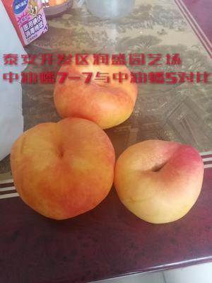 山东省泰安市岱岳区黄金蟠桃树苗 1~1.5米