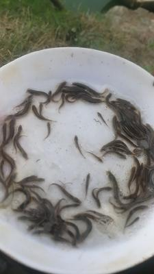 广东省佛山市南海区台湾泥鳅苗