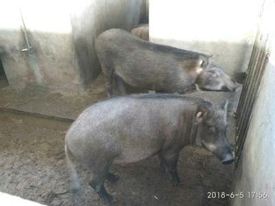 四川省广元市利州区特种野猪 120斤以上 母