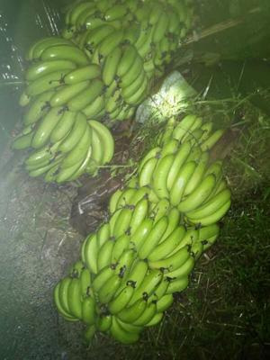 海南省儋州市儋州市海南蕉 七成熟 40 - 50斤