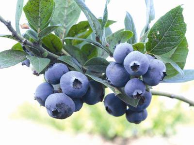 黑龙江省伊春市伊春区蓝丰蓝莓 鲜果 12 - 14mm以上