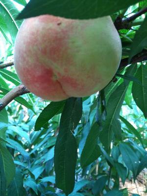 山东省泰安市岱岳区水蜜桃苗 1~1.5米