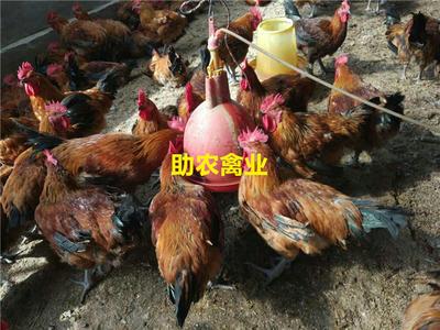 这是一张关于青脚麻鸡苗的产品图片