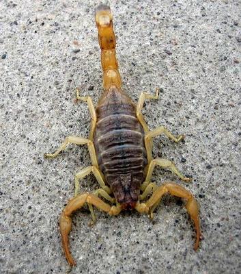这是一张关于沂蒙山十足全蝎的产品图片