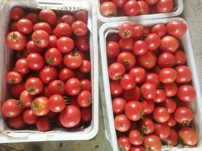 山东省烟台市海阳市粉果番茄 不打冷 硬粉 弧二以上