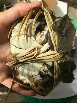 江苏省苏州市常熟市阳澄湖大闸蟹 2.0两以下 统货