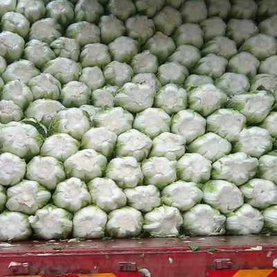 河北省张家口市沽源县玲珑黄白菜 3~6斤 净菜