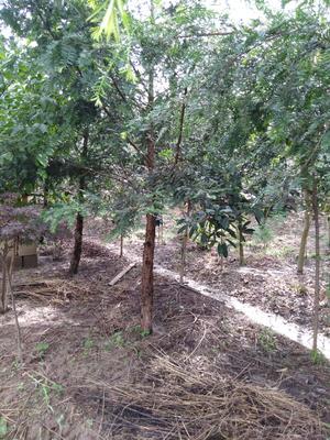 安徽省六安市霍山县南方红豆杉 3~3.5米
