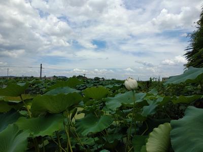 湖南省湘潭市湘潭县菜藕 5-7cm 10~15cm