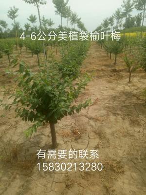 河北省保定市望都县美植带榆叶梅