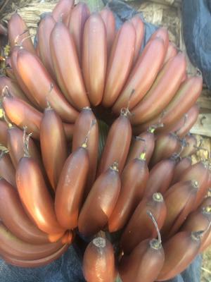 广西壮族自治区南宁市西乡塘区红蕉 八成熟 40 - 50斤