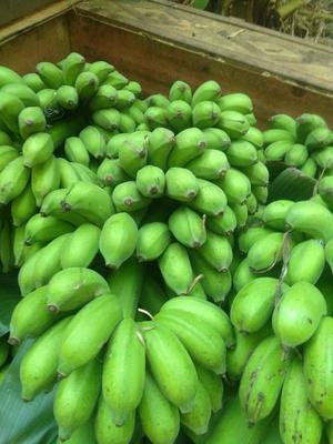 广西壮族自治区南宁市江南区小米蕉 七成熟 40 - 50斤