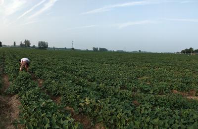 河南省开封市兰考县西瓜红红薯 红皮 4两以上