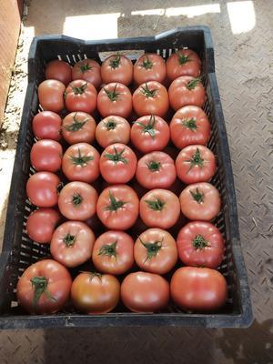 云南省昆明市宜良县硬粉番茄 不打冷 硬粉 通货