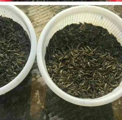 广东省广州市天河区台湾泥鳅苗
