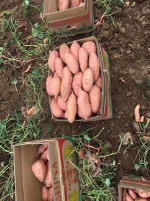 湖北省襄阳市宜城市龙薯九号 红皮 3两以上