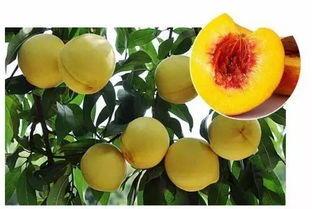 这是一张关于炎陵黄桃 45mm以上 3 - 4两的产品图片