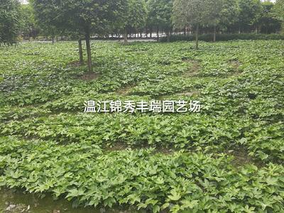 四川省成都市温江区八角金盘