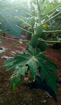 这是一张关于青木瓜 3 - 4斤的产品图片