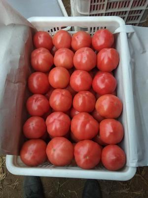 河北省唐山市乐亭县硬粉番茄 不打冷 硬粉 通货